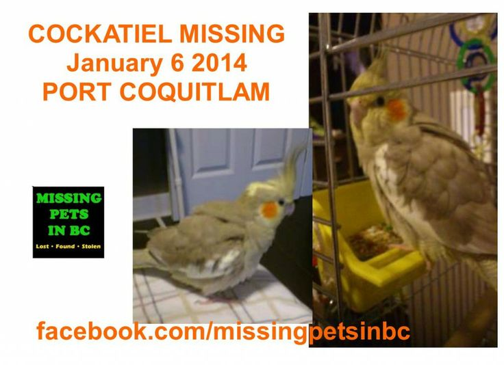 LOST COCKATIEL - PORT COQUITLAM Shaughnessy St - JANUARY 6 2014