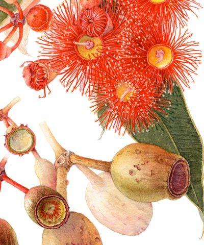Google Image Result for http://www.botanicartist.com/images/Eucalyptus_detail.jpg