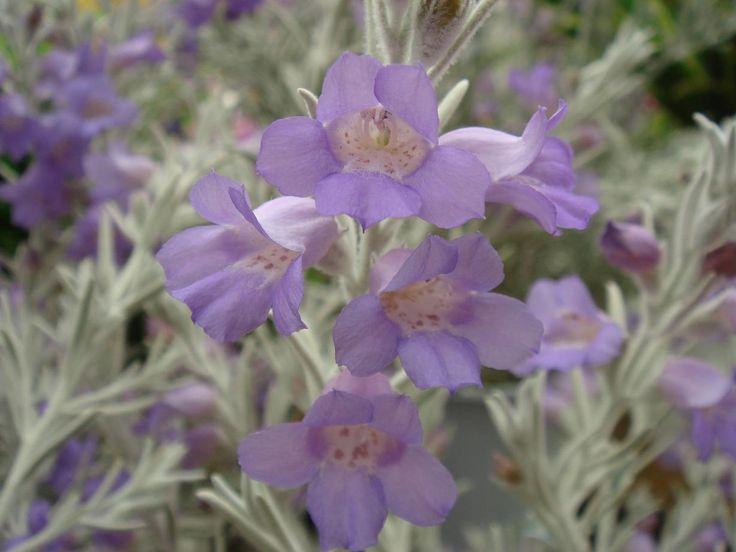 Silky Eremophila (Eremophila nivea) A shrub which is native to Western Australia.