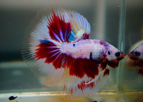 182 best bettas images on pinterest fish aquariums fish for Live dragon koi fish