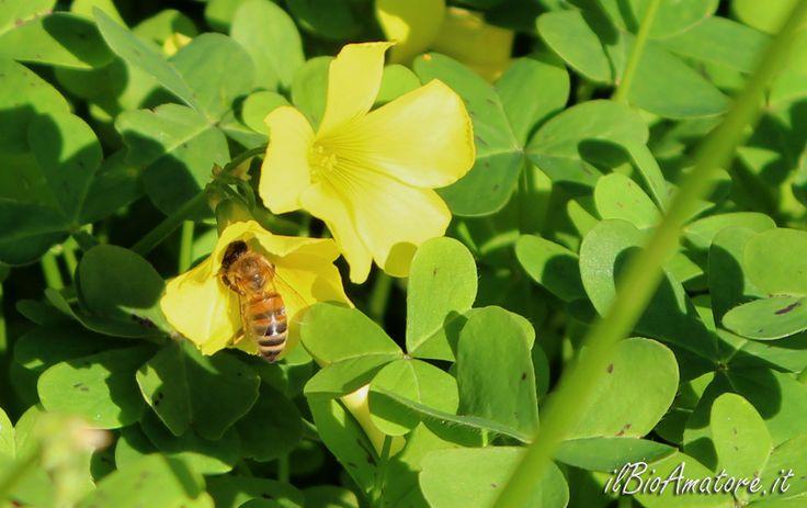 Acetosella gialla, http://ilbioamatore.it/blog/il-giardino-si-e-tinto-di-giallo/