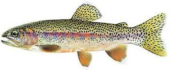 Image result for rainbow trout drawing