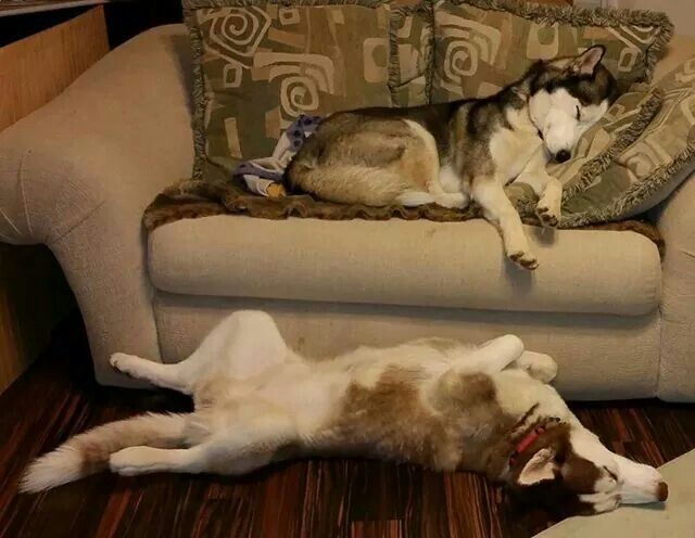 Siberian Husky Twist & a comfy couch snooze