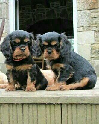 Black and tan Cavalier pups