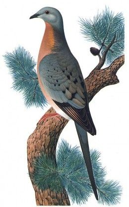 1) Hayashi & Toda artists, Charles Whitman (author) | This Passenger Pigeon is a-now extinct type of bird | Lived in enormous flocks, 2nd in size to the Rocky Mtn. Locust | Believed the bird once flew in flocks of 3.5 billion birds | They were slowly made extinct when Europeans 1st landed in America | Settlements led to mass deforestation & pigeon meat became cheap food for slaves | Population died out within 100 years.