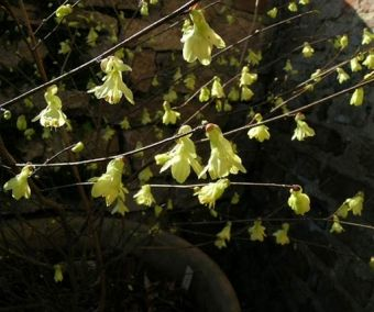Les 25 meilleures id es concernant arbuste japonais sur pinterest fleur du japon feuilles - Arbuste japonais fleur jaune ...