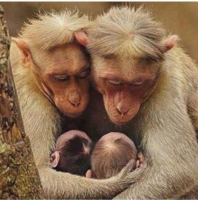 Parental ape love. You can see how deeply they love their babies!