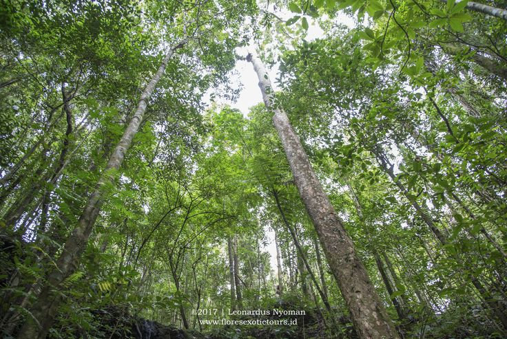 Trekking in Mbeliling forest - West Flores