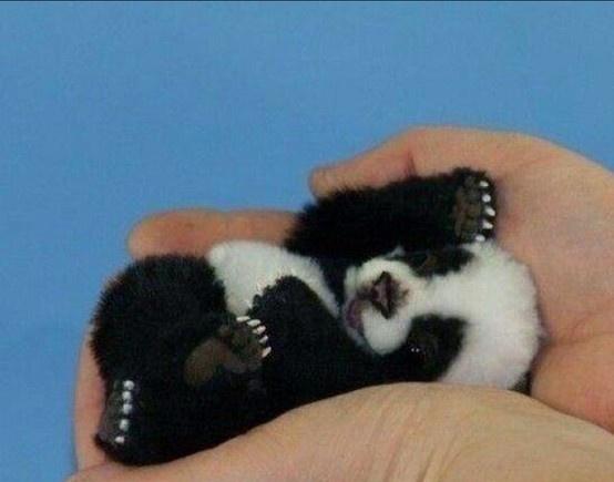 31 day old panda