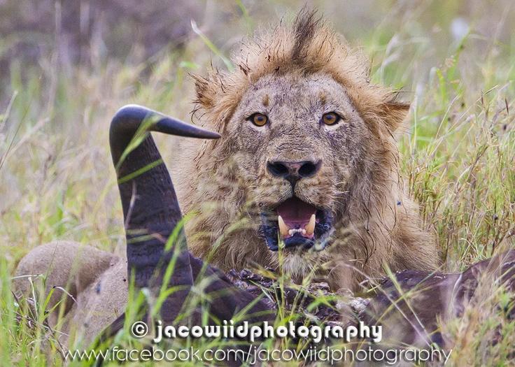 Male lion on Buffalo carcass - Kruger Park South of Satara