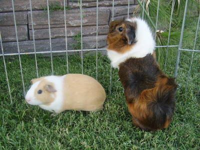 Image on my article All About Abyssinian Guinea Pigs (That's an Abby on the right.)