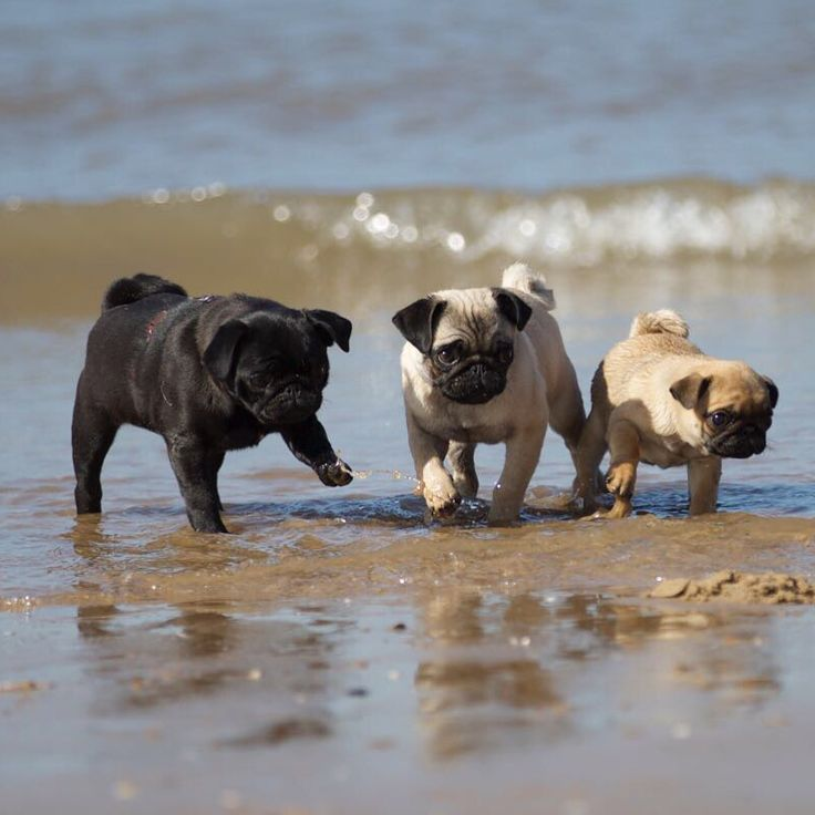 Pugs On The Beach Baby Pugs Cute Pugs Pug Puppies