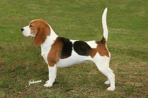 Beagle | ... Beagle Club inglês após a publicação do padrão realizou-se em