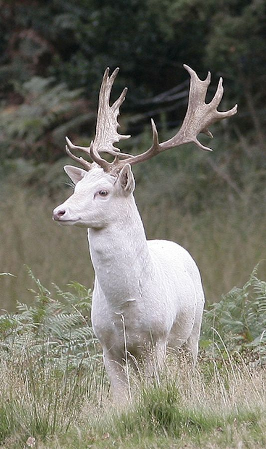 White Fallow Deer (white, not albino)