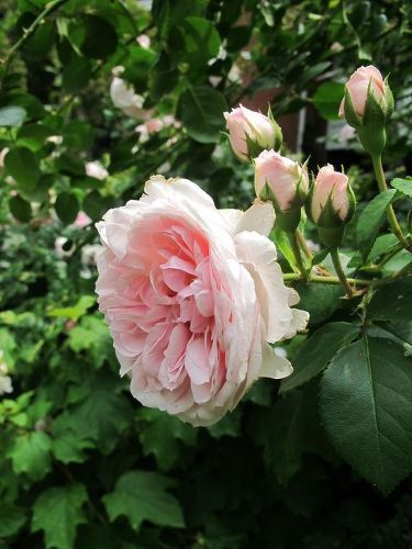s 11 stunning flowers that thrive in shade, gardening, Plant hardy Cinderella Fairy Tale Roses