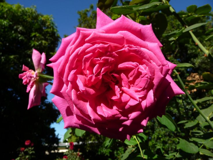 From the Australian True Blue Collection The Thank You Rose  Highly Fragrant,large blooms ,flowering freely over many months