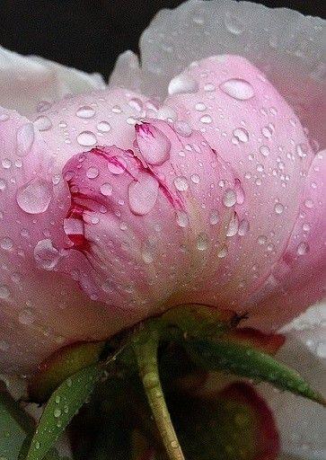 Gouttes de Rosée... Pivoine Rose