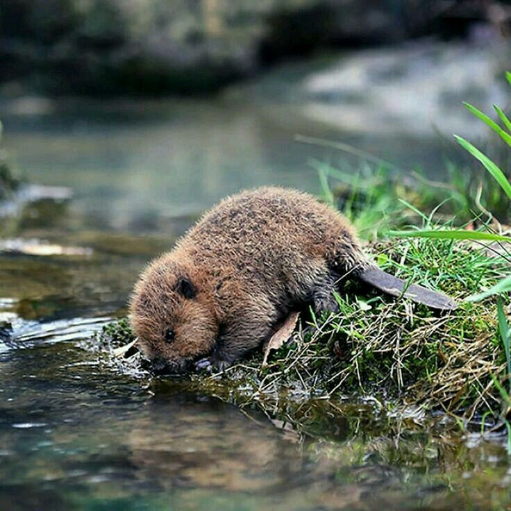 The beaver is a large, primarily nocturnal, semiaquatic rodent. Castor includes two extant species, the North American beaver and Eurasian beaver. Beavers are known for building dams, canals, and lodges. Wikipedia