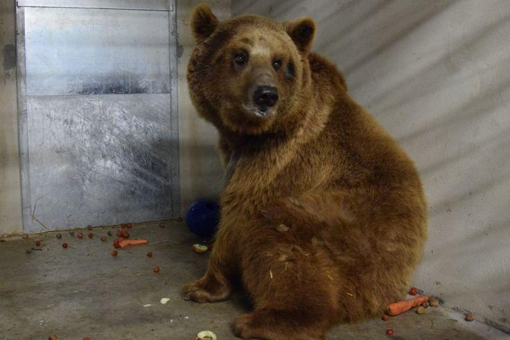 Niedźwiedź Baloo wyjdzie na wybieg. Niedźwiedziarnię zamkną dla zwiedzających