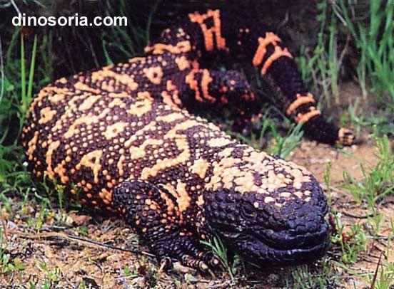 Monstre de Gila - Lézard perlé - Reptiles - Frawsy
