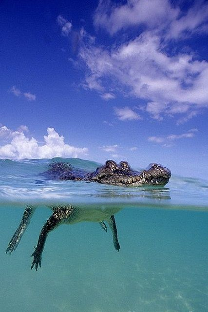 SaltWater #Crocodile Franco Banfi #reptile