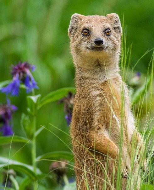 Mongoose ( via Magical Nature Tour )