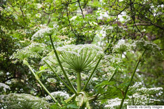 giant hogweed plant