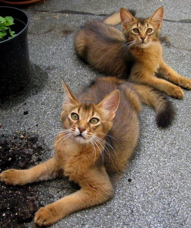 Check out these long-haired Abyssinians, aren't they beautiful….