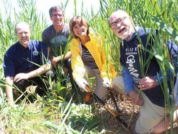 Community-based effort tackles phragmites issue in Collingwood