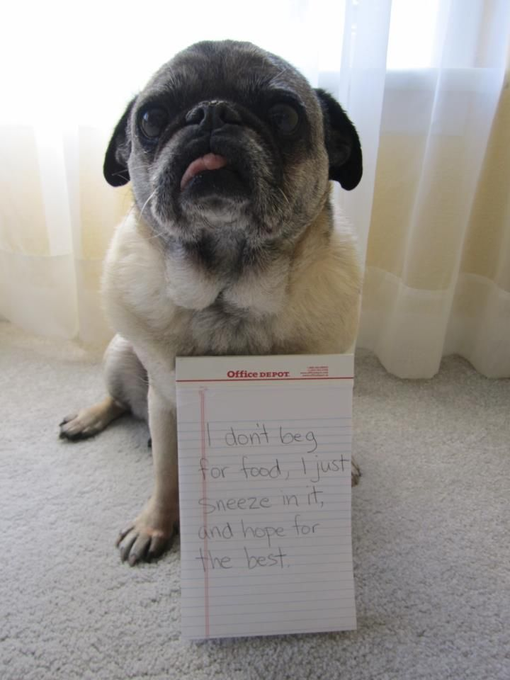 best food for pug puppies hahahaha it says quot i don t beg for food i just sneeze on 6063