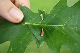 """Leaf crowns, how to """"pin"""" them together."""