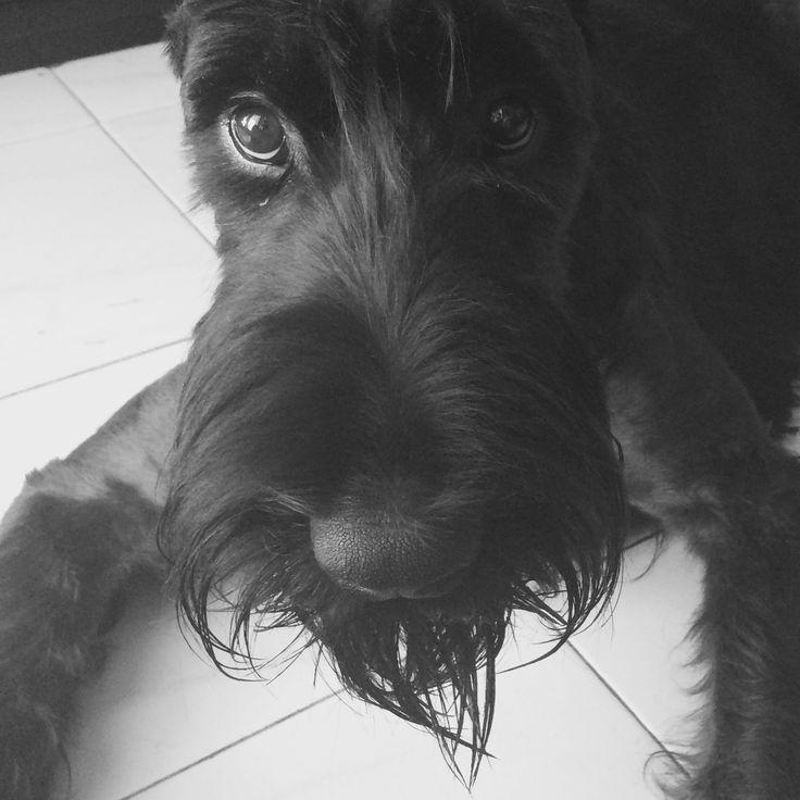 Puppy Molly. Giant shnauzer 9 months