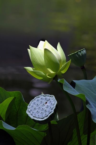 Lotus emerge pure but are rooted in mud. They bloom and form fruit at the same time. Perfect symbols of equanimity and karma.