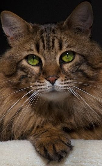 The Maine Coon cat is one of the largest domestic cat breeds. Big-boned and solidly muscled, it is not uncommon to find them at 20+ lbs. http://www.mainecoonguide.com/maine-coon-personality-traits/