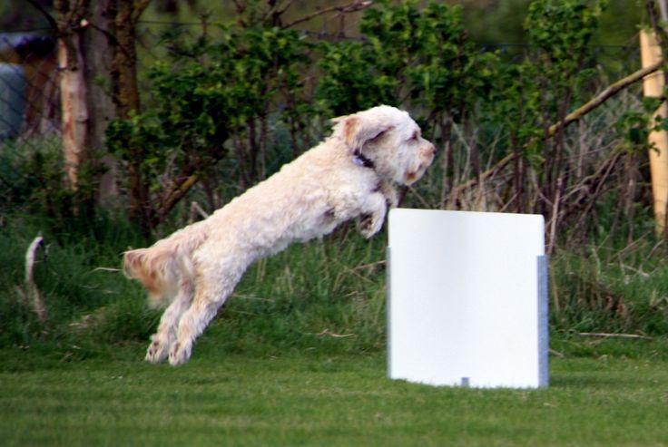 Cocker Spaniel/Pudel Toni Hundesport! Nichts ist schöner als Fliegen! #Hund: Toni / #Rasse: Cocker Spaniel/Pudel      Mehr Fotos: https://magazin.dogs-2-love.com/foto/cocker-spanielpudel-toni/ Foto, Hund, Hundesport