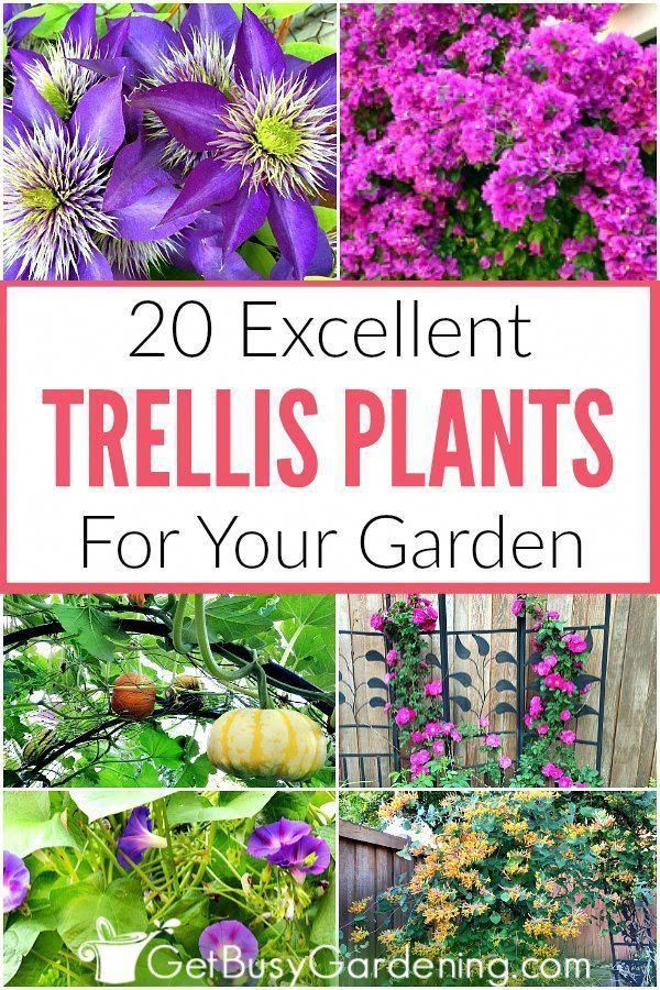 If You Re Wondering What Plants Grow On A Trellis Then This List Of Trellis Plants Is For You Climbing Plants Trellis Climbing Flowers Climbing Flowering Vines