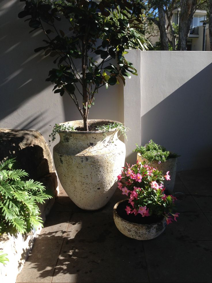 Atlantis pot with magnolia little gem. A grouping of similar pots creates interest and focal point from front door.