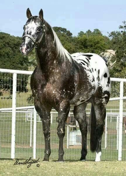 Appaloosa strong and proud! Cheval.