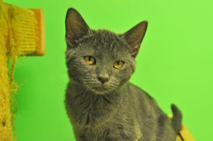 Http Petango Com Adopt Cat Domestic Shorthair