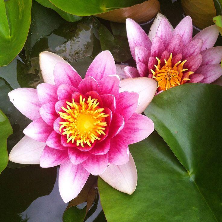 Water lilies June 2014 Spanish lavender, Water lilies
