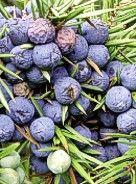 Beeren für die Blase  von Monika Schulte-Löbbert, Kaarst  Die Geschichte des Wacholders als Heilmittel reicht weit zurück: Bereits auf dem altägyptischen Papyrus Ebers etwa 1550 v. Chr. wird er als hilfreich gegen Verdauungsbeschwerden, Harnleiden und Wassersucht beschrieben. Der Gemeine Wacholder ist ein immergrüner Strauch oder kleiner Baum. Seine Früchte werden noch heute sehr geschätzt, als pflanzliches Arzneimittel zur Entwässerung und Unterstützung der Verdauung sowie als Küchengewürz.
