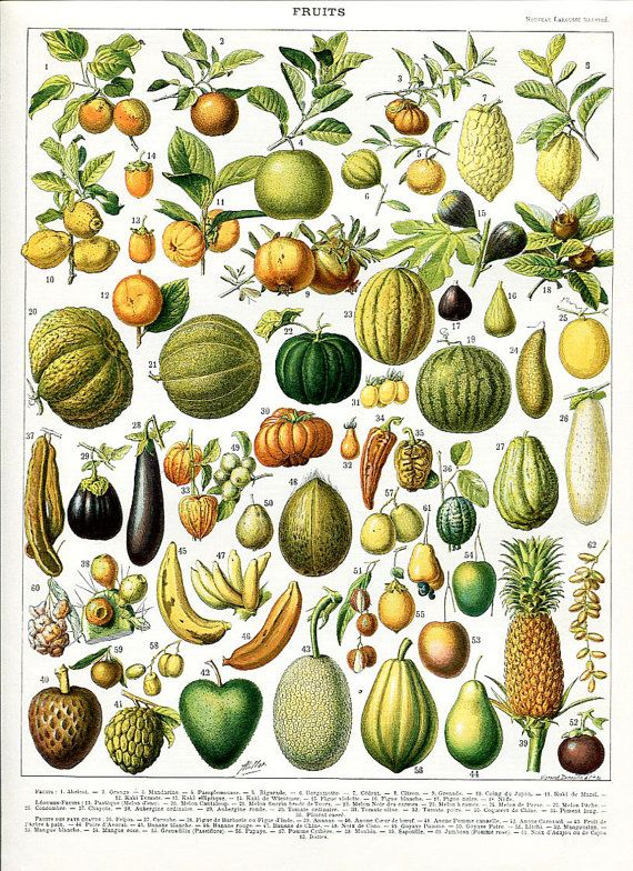Vintage lithography - Fruits - Botanical print from a 1898s edition of a french dictionary The page is meticulously engraved. The colors are