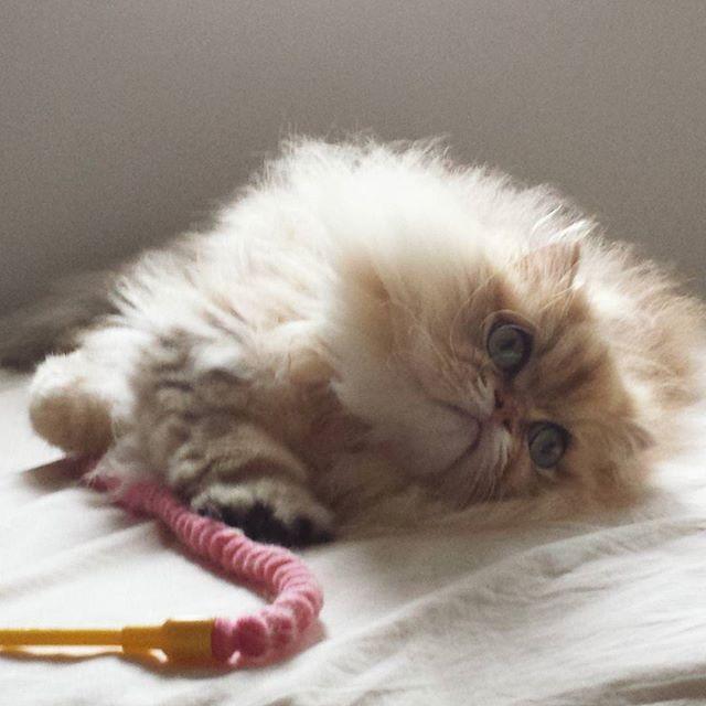 遊び疲れたのかな(^-^)。 . .  http://ameblo.jp/andcateco/ . . #遊び疲れた猫 #猫#ねこ#ネコ#アート #ライフスタイル#美術展 #ギャラリー#パリ#詩 #絵本#絵#エッセイ #愛猫#ペルシャ#本  #happy#culture#japan #lifestyle#life #follow#followme #cat#paris #love#art #gallery#modern #andcat
