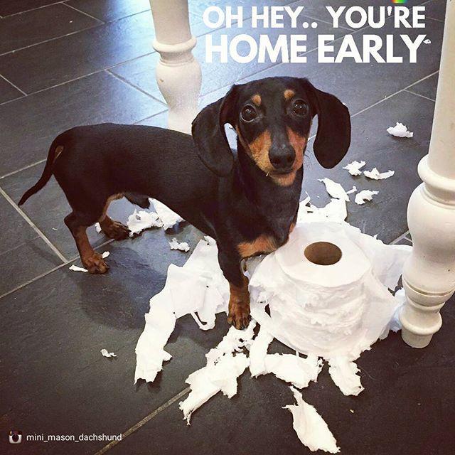 Yes i am  .  @mini_mason_dachshund