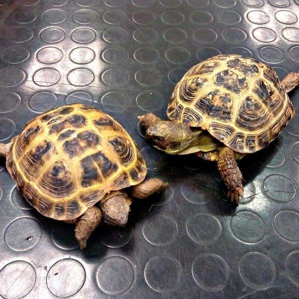 Por desgracia, muchas veces que preguntamos a los propietarios sobre la alimentación de sus tortugas nos explican una alimentación incorrecta o poco variada. Por ello, en este artículo os hacemos una lista de alimentos que pueden comer las tortugas terrestres: http://blog.hvcruzcubierta.com/la-alimentacion-de-las-tortugas-terrestres/