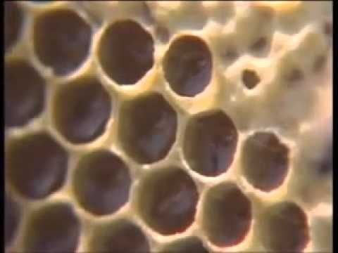 ▶ The Life Cycle of the Honeybee - YouTube Reading Rainbow Season 1 Episode 8 https://www.youtube.com/watch?v=XfhM7g78HV4 #BeeFever @Bee Fever on FB!