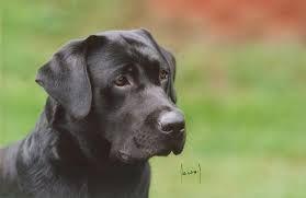 Výsledek obrázku pro labrador černý