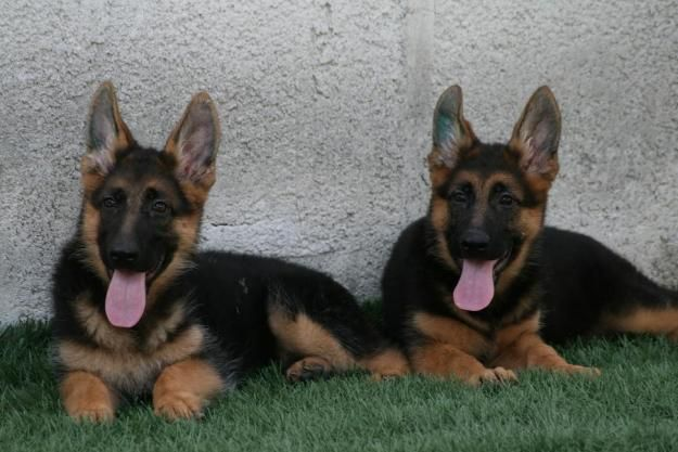 Perros de Pastor aleman en venta - Espejo - Animales - ventas ...