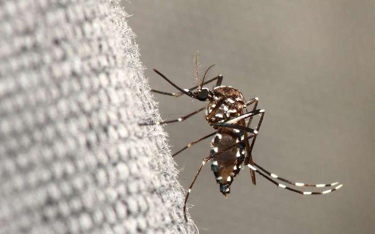 Porteur des virus de la dengue, du chikungunya et du Zika, le moustique tigre est implanté et actif dans le département. Un dispositif de surveillance a été mis en place.
