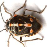 Writer: Paul Schattenberg, 210-859-5752, paschattenberg@ag.tamu.edu Contact: Molly Keck, 210-631-0400, mekeck@ag.tamu.edu SAN MARCOS -- The Bagrada bug, Bagrada hilaris, an invasive stink bug that has been slowly spreading through the southwestern U.S. for the past decade, has recently been re